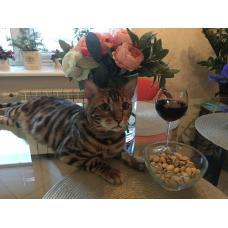 Бенгальский котик в добрые руки