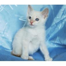 Голубоглазый котенок, 1.5 мес в добрые ручки