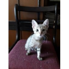 Миленькая кошечка(котёнок) в дар