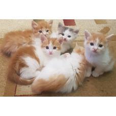 Котята от домашней кошки в дар в добрые руки