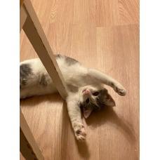 котенок в дар (девочка - Эсси)