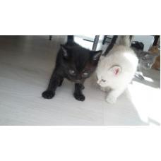 котята рыженькие, белые, черный, дымчатый