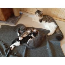 Котята домашней кошки в дар