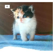 Котята 1 месяц Пинск в дар– 2 мальчика и 2 девочки.