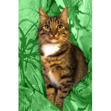 Люси –  кошка-рысь с зелеными глазами в дар!