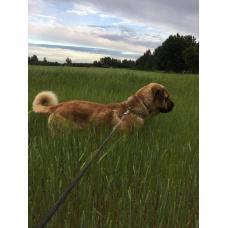 Собака испанский мастиф в дар