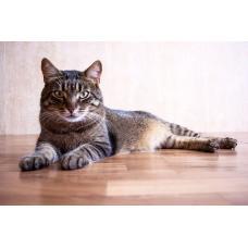 Кот Тигра, кастрирован