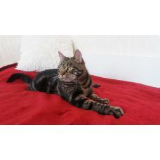 Кошка Киана 1 год, стерилизована