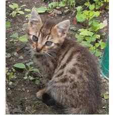 Отдам котят, 2-ух кошечек в надёжные руки, возраст около месяца, окрас тигровый